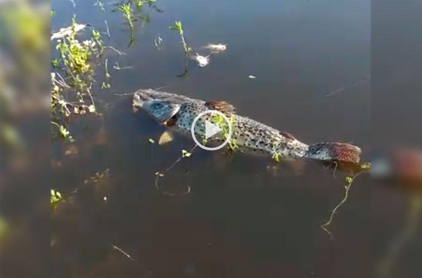Preocupa la mortandad de peces en Chaco y Santa Fe — Impresionantes videos