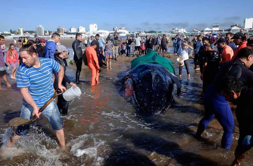 Intentan salvar a la ballena encallada en Mar del Plata — En vivo