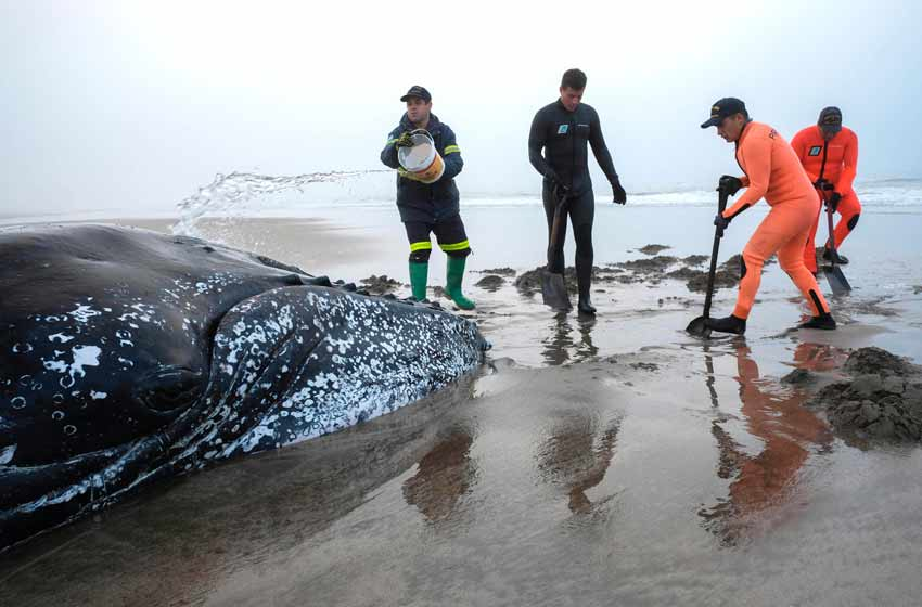 Intentan salvar a la ballena encallada en Mar del Plata — En vivo